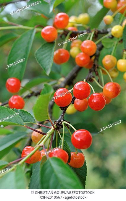 cerises sur la branche,departement Eure et Loir,region Centre,France,Europe/cherries on the branch,Eure et Loir department, region Centre,France,Europe