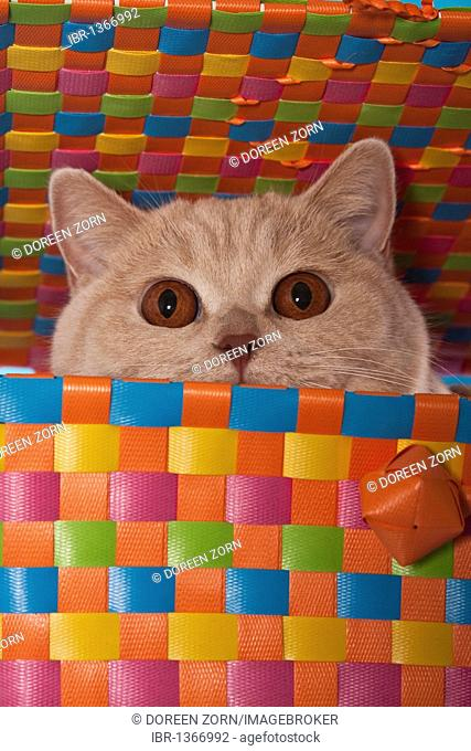 British shorthair cat looking out of a colourful wicker basket