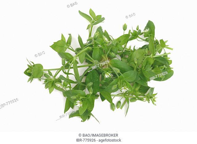 Chickweed (Stellaria media), medicinal plant