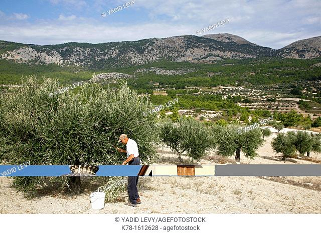 Olive grove, Rhodes, Greece
