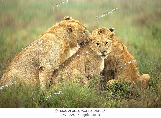 Three lions in the rain. Panthera leo