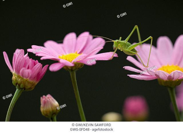 SPECKLED BUSH CRICKET LEPTOPHYES PUNCTATISSIMA ON A GARDEN FLOWER