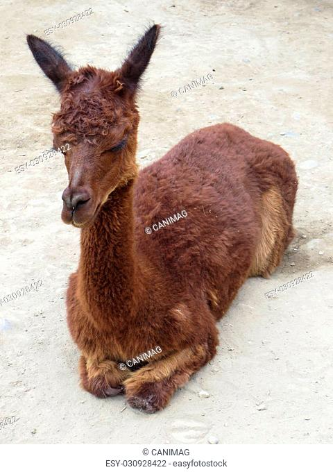 Baby Llama in Andes Mountains, Peru
