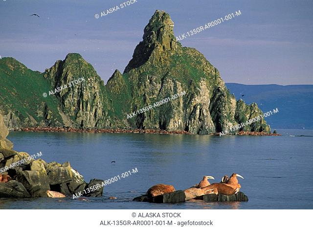 Walrus resting on rock Round Island Southwest Alaska summer scenic
