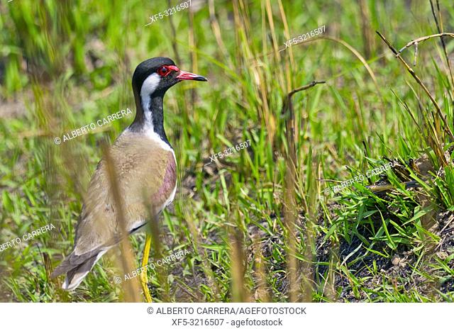 Red-wattled Lapwing, Vanellus indicus, Royal Bardia National Park, Bardiya National Park, Nepal, Asia