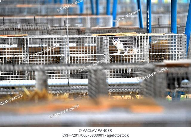 Chamber of Deputies approved fur farming ban on June 7, 2017. Fur farming should stop to the end of January 2019. Pictured mink from the fur farm in Velky...