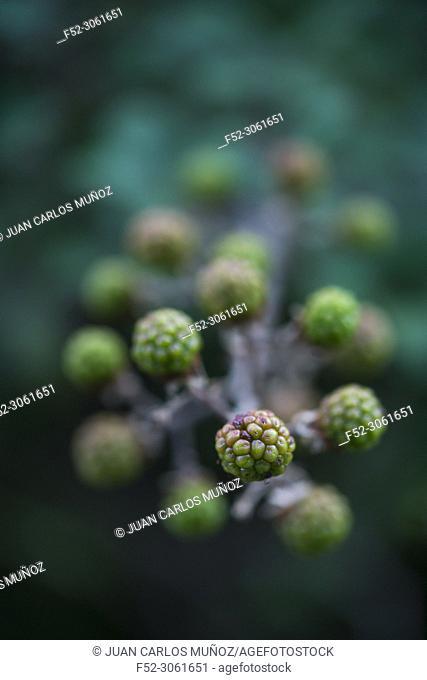 RUBUS (Rubus sp)., Sobrarbe, Huesca, Aragon, Spain, Europe