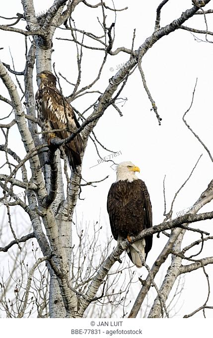A second year bird and a adult Bald Eagle sitting in a tree