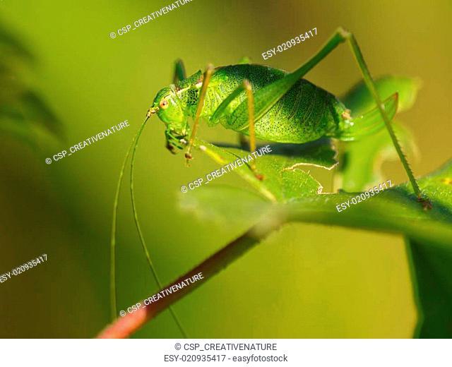Female of a speckled bush-cricket (Leptophyes punctatissima) eating a leaf