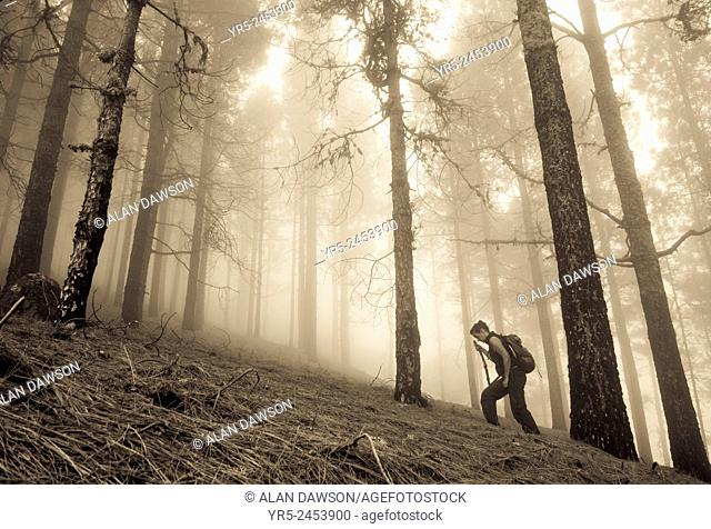 Female hiker in misty Pine forest in mountains on Gran Canaria, Canary Islands, Spain