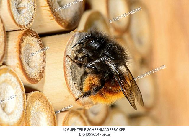 Hornfaced bee (Osmia cornuta), cloing the breeding tunnel, Bee Hotel, artificial breeding site, Switzerland
