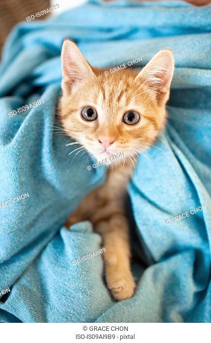 Orange tabby kitten under blanket