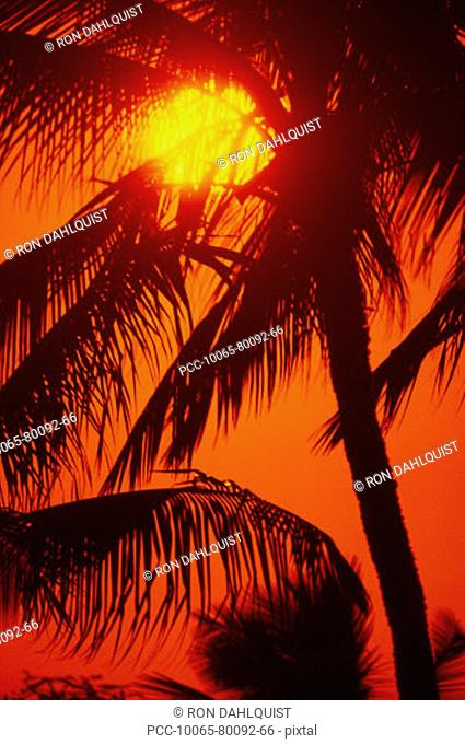 Sunball shining through palm fronds in red sunset sky