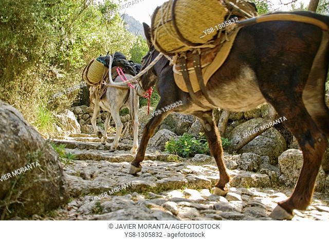 Spain, Balearic Islands, Mallorca, Biniaraix, Donkeys loaded
