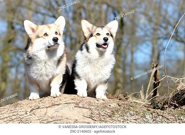 Dog Pembroke Welsh corgi / two adults sitting on a wood