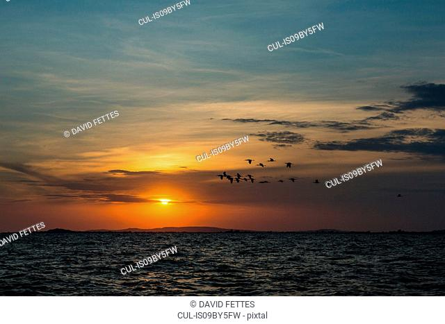 Silhouetted flock of birds flying over lake at sunset, Uganda