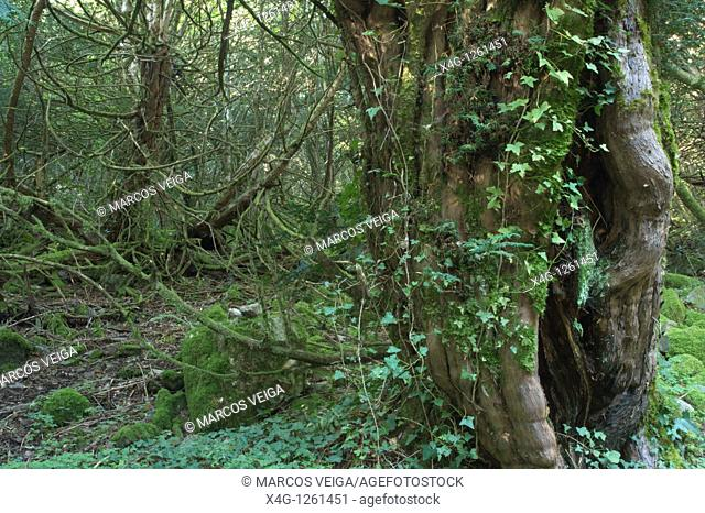 Yew forest Taxus baccata Pena Trevinca, Galicia, Spain