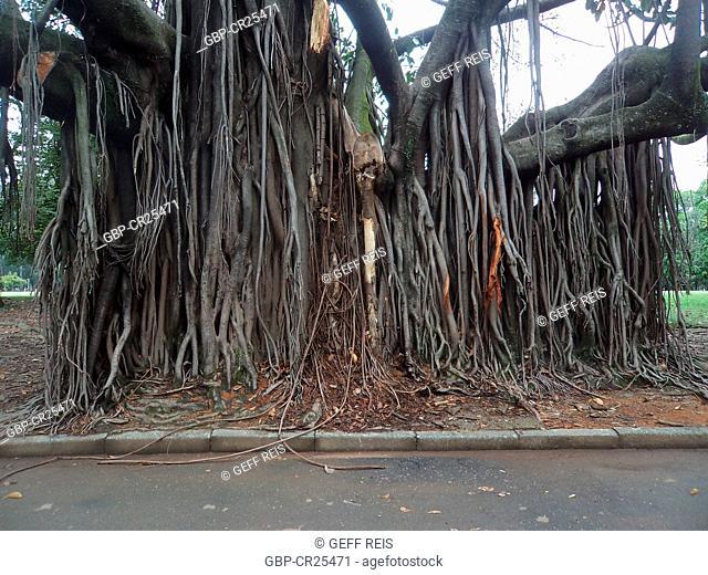 Ficus religiosa, Brick wall, tree roots, Ibirapuera Park, São Paulo, Brazil