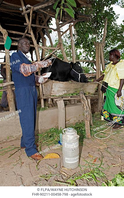 Vet artificially inseminating dairy cattle, to help improve productivity, Uganda, June
