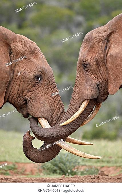 Two African Elephant (Loxodonta africana) greeting each other, Addo Elephant National Park, South Africa, Africa