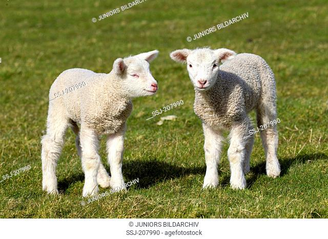 Domestic Sheep. Two lambs standing on a dyke. Germany