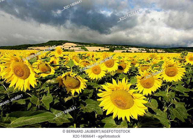 A field of Sunflowers Helianthus annuus, Limagne, Auvergne, France, Europe