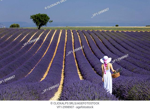 Girl in a white dress and hat in a lavender field carrying a basket of flowers, valensole, provence, france