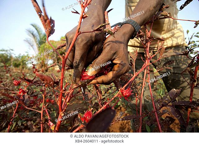 Kenya, Meru, Meru Herbs, karkade (hibiscus)
