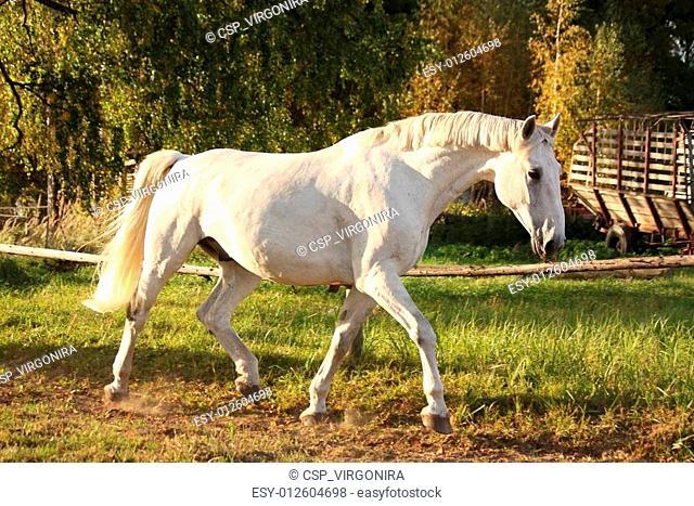 Beautiful white horse running trotting