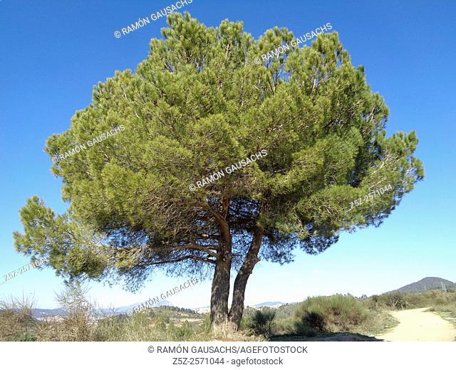 Pine tree (Pinus pinea). Catalonia, Spain