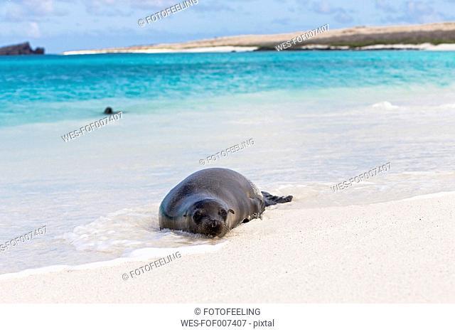 Ecuador, Galapagos Islands, Espanola, Gardner Bay, sea lion lying in water at seafront