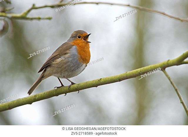 Robin-Erithacus rubecula in song. Spring. Uk