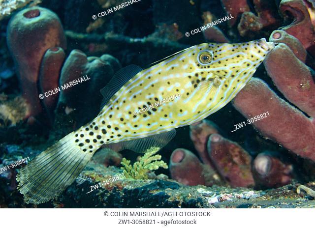 Scrawled Filefish (Aluterus scriptus, Monacanthidae family), Pyramids dive site, Amed, east Bali, Indonesia