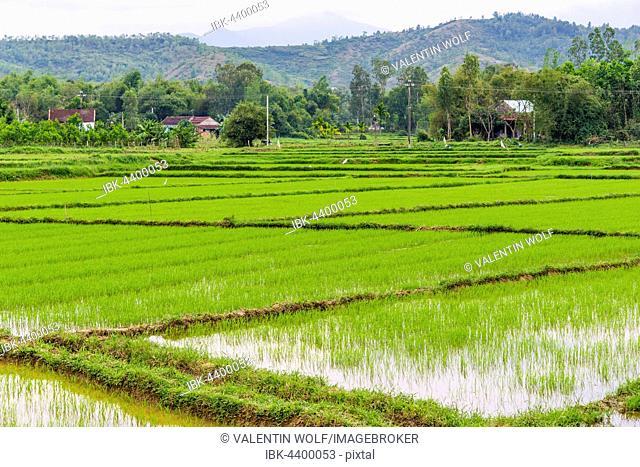 Green rice field, Quang Nam, Vietnam