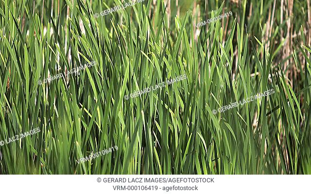 Great Reedmace or Bulrush, typha latifolia, Plants in the Wind, Pond in Normandy, Slow Motion