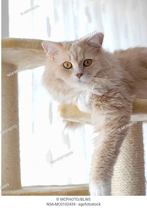 Felis silvestris f  catus, domestic cat, house cat