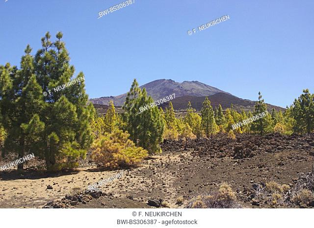Canary pine (Pinus canariensis), pine forest at Pico Viejo, Canary Islands, Tenerife, Teide National Park