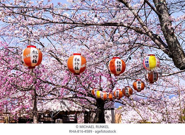 Cherry blossom in the Maruyama-Koen park, Unesco world heritage sight Kyoto, Japan