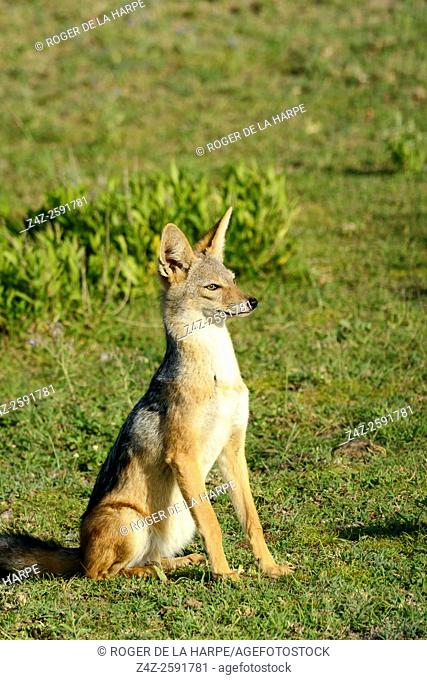Black backed Jackal Canis mesomelas. Ngorongoro Conservation Area (NCA). Tanzania