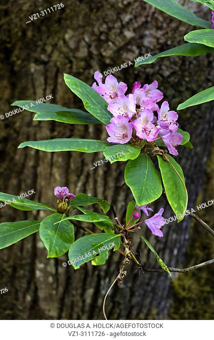 Purple Rhododendron (Rhododendron macrophyllum) blossoms of Prarie Creek Redwoods State Park, Northern California, USA