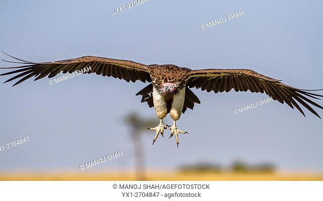 Nubian vulture in flight