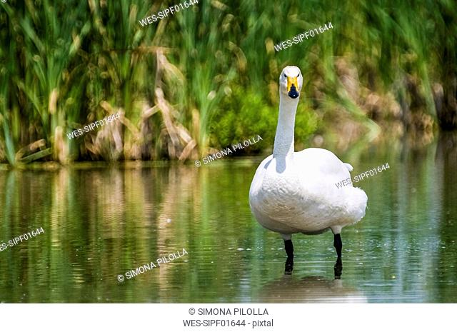 Italy, whooper swan wading in water