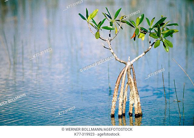 Red Mangrove (Rhizophora mangle). Everglades Natinal Park. Florida. USA