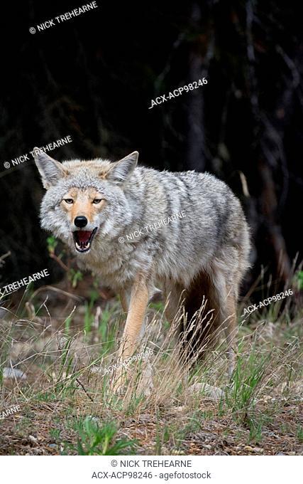 Canis latrans, coyote, rocky mountains, Alberta, Canada