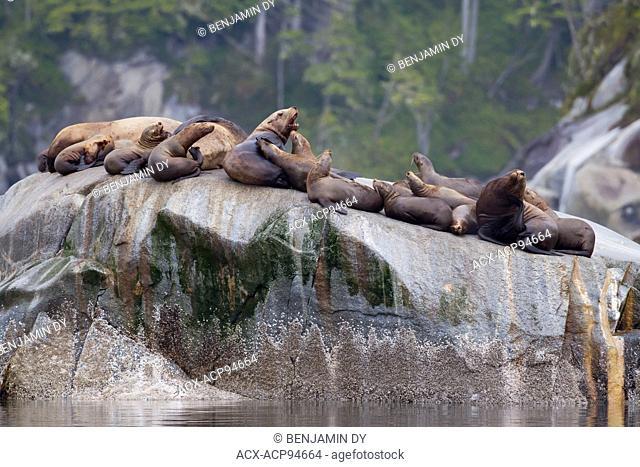 Steller sea lion, Eumetopias jubatus, Group on a rock, British Colombia, Canada