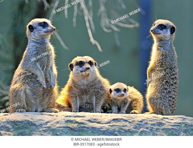 Meerkat or Suricate (Suricata suricatta), pups with adults, occurrence in Africa, captive