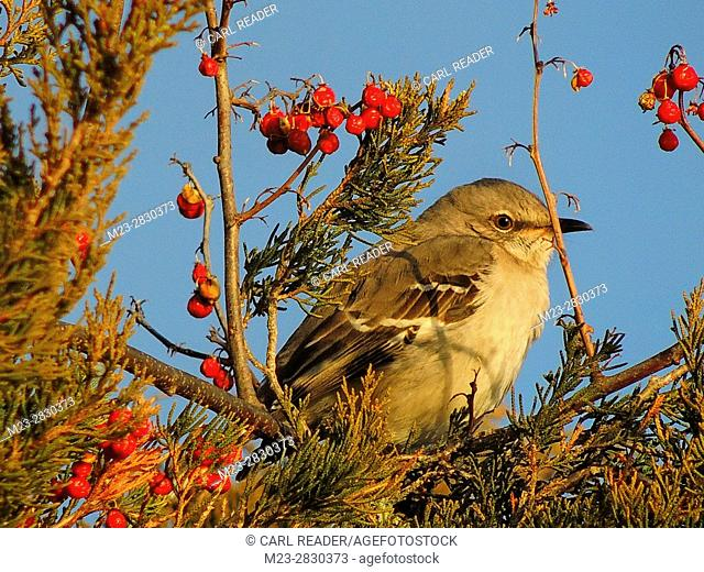 A northern mockingbird, mismus polyglottos, relaxes before indulging in some berries, Pennsylvania, USA