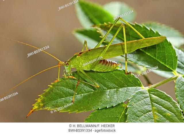 Sickle-bearing Bush-cricket, Sickle-bearing Bush cricket (Phaneroptera falcata), sits on a leaf, Germany