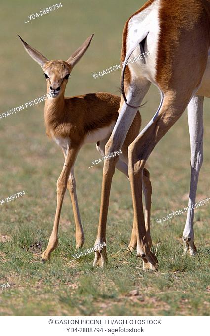 Springbok (Antidorcas marsupialis) - Mother and lamb, Kgalagadi Transfrontier Park in rainy season, Kalhari Desert, South Africa/Botswana