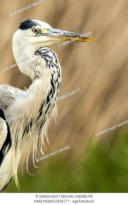 Hungary, Csongrad, Kiskunsagi National Park, Pusztaszer, Grey Heron (Ardea cinerea), close-up